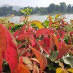 Herbstlaub mit Rhein im Hintergrund